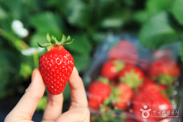 Yangpyeong Strawberr...