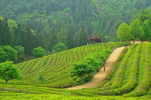 Daehan Dawon Tourist Tea Plantation (Boseong Green Tea Plantation) (보성녹차밭 대한다원)