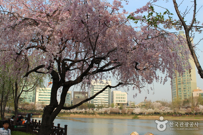 Seokchon Lake Cherry...