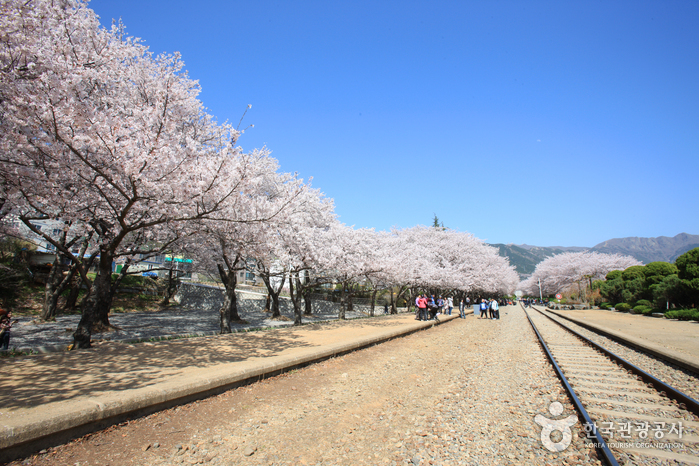 Gyeonghwa Station (Cherry Blossom Road) (경화역 벚꽃길)